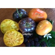 Tomate Afternoon Delight - Solanum lycopersicum